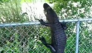 Gator Laughs At Humans Puny Efforts To Contain Him The Dodo