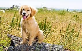 cute golden retriever puppies wallpaper