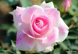 pink color rose flower 3661x2549