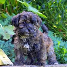 shorkie poo puppies