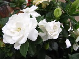 gardenia shrubs richmond va