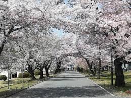 「静岡県立富士宮北高等学校 桜」の画像検索結果