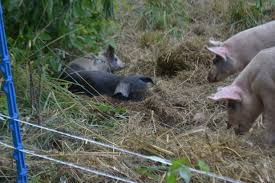 Pasture Pigs And Kencove Fence