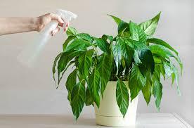 spraying indoor plants spathiphyllum