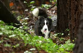 Dogs aid search for rebels' unmarked graves in Santa Rosa