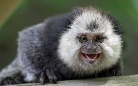 تحميل خلفيات القرد Geldieva Callimico القرود المتوحشة أولوية