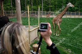 People watch giraffes Turtle Back Zoo after Editorial Stock Photo - Stock  Image | Shutterstock