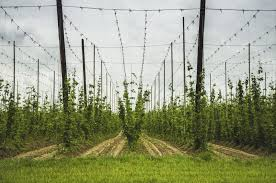 best support for hops plant tips on