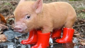 piglet pigs wallpaper 40623407 fanpop
