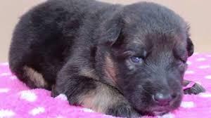 sagwu long coat german shepherd puppies