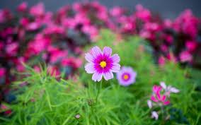 wallpaper garden pink flower