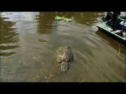 Can Alligators Climb Fences Well This Video Shows They Can Nature World News