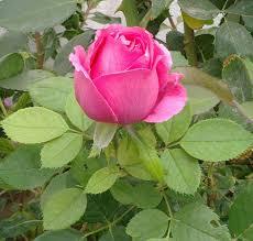 تخفيض السعر أقرب في أفضل رخيصة اجمل وردة طبيعية