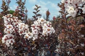 Shop Black Diamond White Crape Myrtle Tree for Sale | Perfect Plants