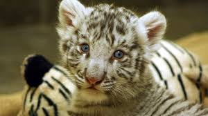 3 month old baby white tiger cub