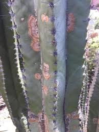 Brown Spots On Cactus Have Multiple Causes Tucson Com