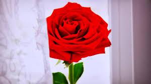 ورد احمر رومانسي