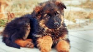 german shepherd puppy german