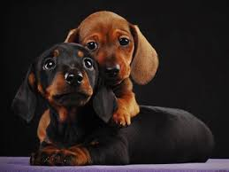 dachshund wallpapers top free