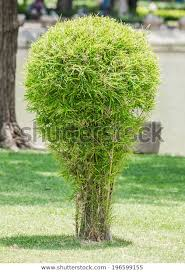 small bamboo tree garden stock photo