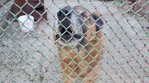 Dog Barks Behind The Fence Stock Video Footage Storyblocks