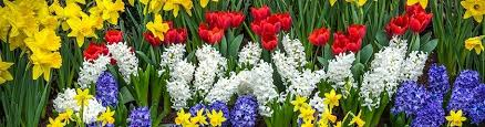 fall planted bulbs spring blooming