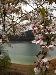 أشجار الكرز 2 Blossom Flower معرض وليد