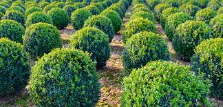 Evergreen Shrubs Pros And Cons Gardening Tips