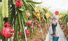 台湾农创园喜收红心火龙果