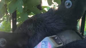 Trump 2020 Sticker Slapped On Black Bear Animal Rights Group Ids Perp