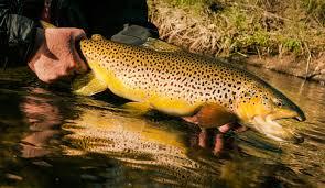 trophy trout wallpaper on hipwallpaper