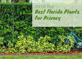 Best Plants To Grow For Privacy In Florida 20 Easy To Grow Privacy Plants