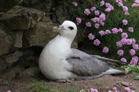 Fulmar - BirdWatch Ireland