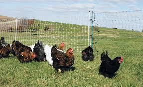 Chicken Poultry Supplies Premier1supplies