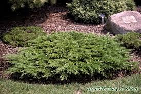 juniperus sabina calgary carpet habit