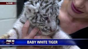 baby white tiger you