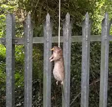 Cops Shock At Finding Foot Long Rat Strung Up By Noose With A Rolled Up Cigarette In Its Mouth