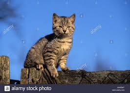Getigerte Hauskatze Jungtier Draussen Auf Holzzaun Sitzend Tabby Cat Stock Photo Alamy