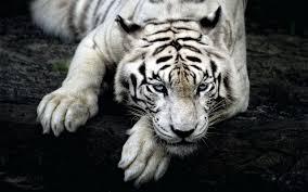 تحميل خلفيات نمر البنغال الأبيض الحياة البرية الحيوانات المفترسة