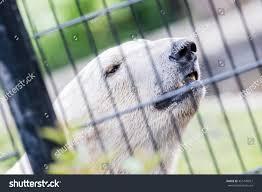 Closeup Polar Bear Behind Black Fence Stock Photo Edit Now 451249957