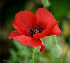 how many petals are on a poppy flower