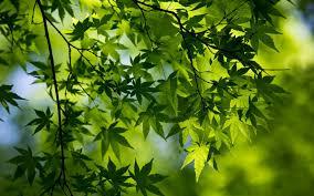 تحميل خلفيات الأخضر فرع القيقب أوراق الشجر الربيع ماكرو قرب