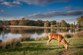 Richmond Park Deer Photo