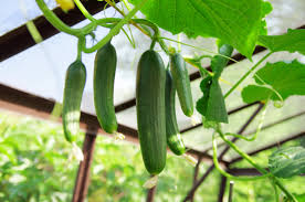 How To Grow Cucumbers Vertically Home Guides Sf Gate