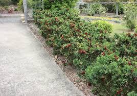 tidy australian shrubs