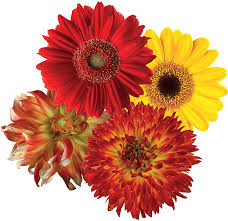 Amazon Com Stikart Removable Flower Wall Decals On A Fine Woven Polyester Canvas Red Yellow Gerber Daisies Mixed With Red Yellow Dinnerplate Dahlias 20 Decals Home Kitchen