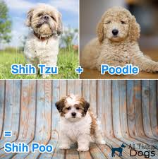 A Shih Tzu Poodle Mix – All Things Dogs
