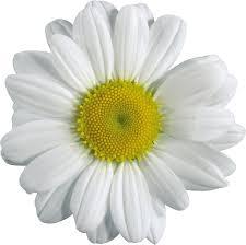 Camomilla Clip art - Camomilla PNG immagine, foto gratis di fiore ...