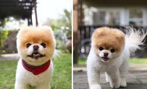 meet boo the world s cutest dog