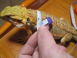 dragon leash how to make a pet collar